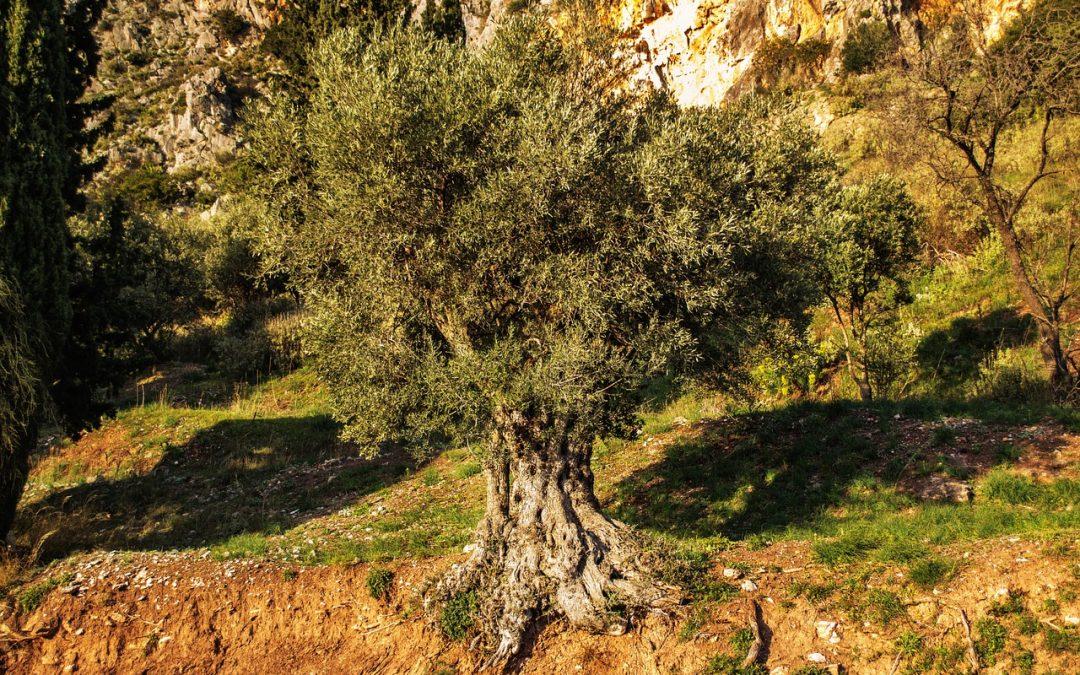 Aceite de Oliva y Aceitunas en Grecia